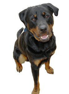 A friendly rottweiler